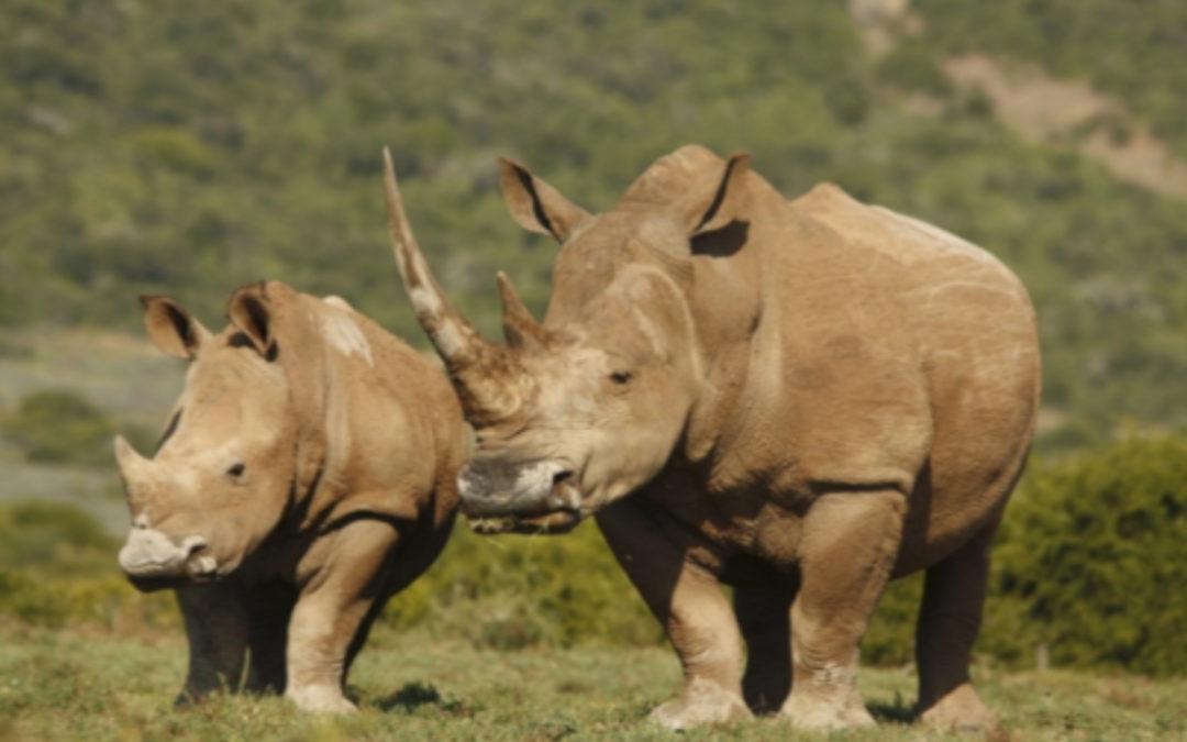 The White Rhinoceros